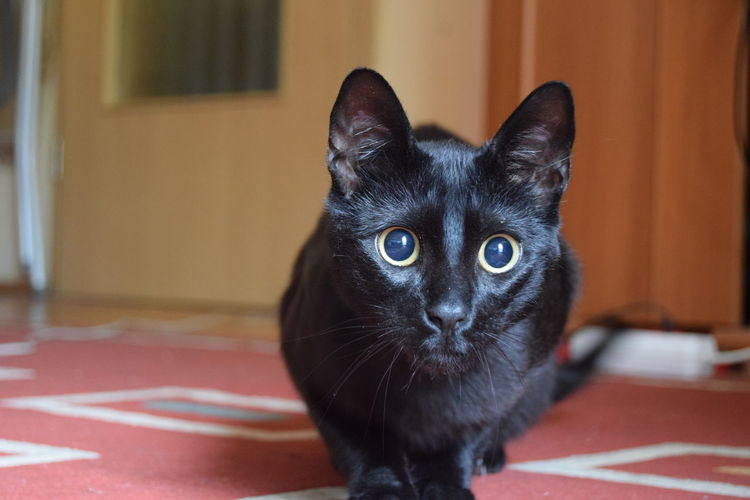 Portrait Of Black Cat At Home