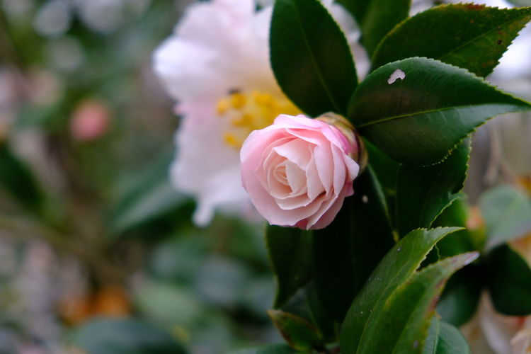 camellia Flower Head Flower Leaf Pink Color Petal Rose - Flower Botanical Garden Peony  Close-up Plant