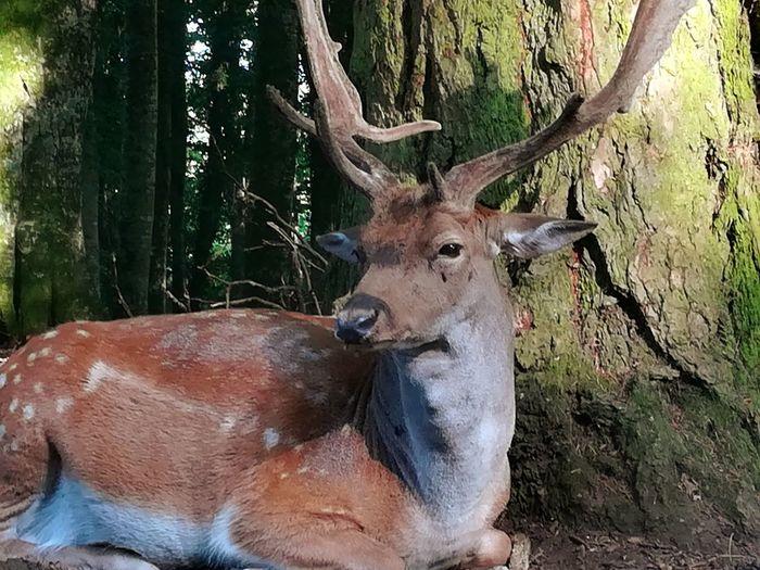 Fallow deer Deer Fallowdeer Tree Stag Antler Close-up Deer Grazing Fawn Safari Animals