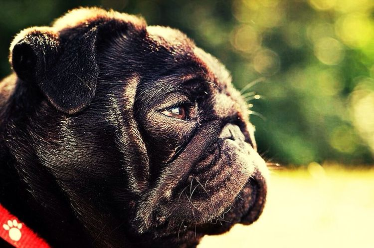 RePicture Love Dog Pug Life  EyeEm Best Shots