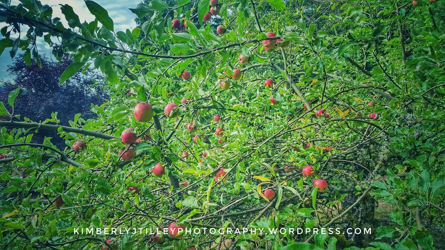 Despite the drought, the apple trees have been plentiful. We think there is a natural spring hidden somewhere. One day, we will find it. Nature Fruit Outdoors KimberlyJTilley Apple Tree Red Branch Plant Leaf Autumn Garden