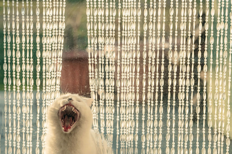 View of a cat yawning
