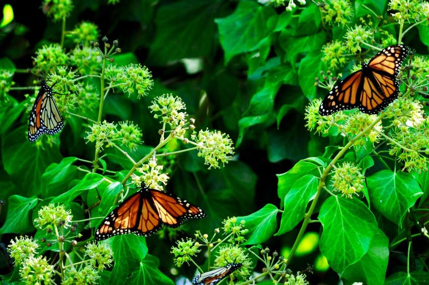 Green Color Nature Plant Growth Leaf Animal Themes Animals In The Wild Insect Beauty In Nature One Animal Outdoors No People Fragility Flower Butterfly - Insect Day Freshness Close-up California Santa Cruz California