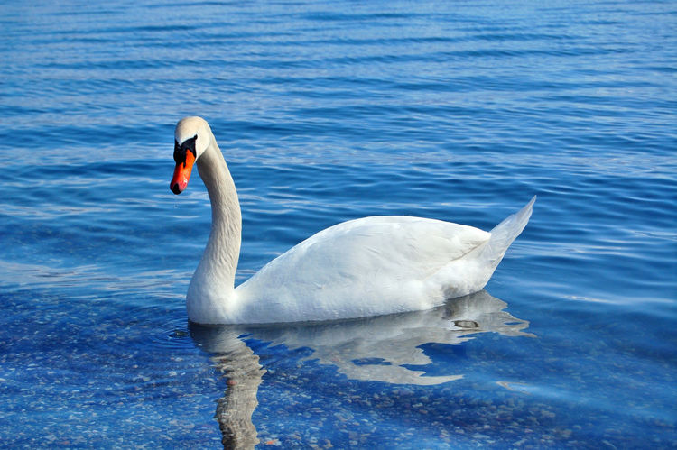 swan birds in lake ohrid,macedonia Bird Lake Ohrid Macedonia Ohrid Lake Ohrid Macedonia Skopje Swan Swans Swans ❤