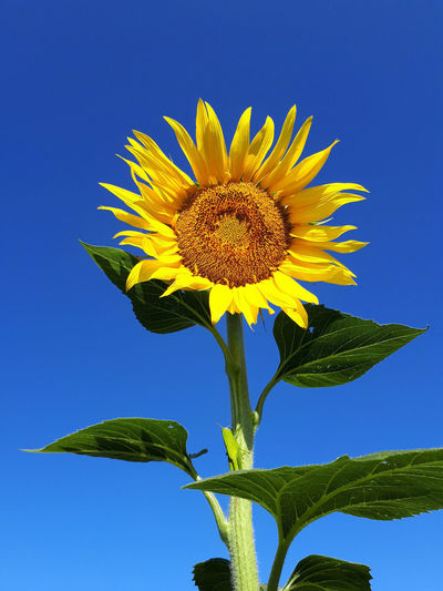 Close-up of sunflower against clear blue sky