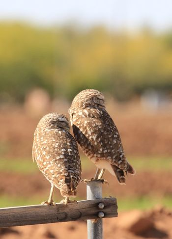 Nature Photography Burrowing Owls Vertebrate Perching Day Close-up Nature Two Animals Sunlight No People Outdoors