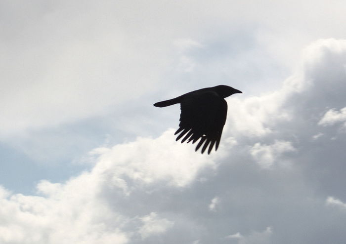 Animal Themes Beauty In Nature Bird Day Flying Flying Crow Low Angle View Nature No People Outdoors Sky Spread Wings Animals In The Wild
