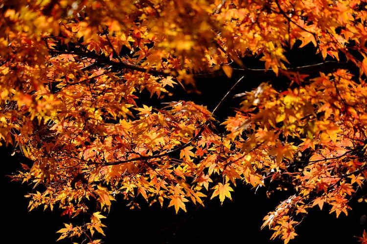 Autumn Colors Autumn Leaves Leaf Light Maple Nature No People Plant