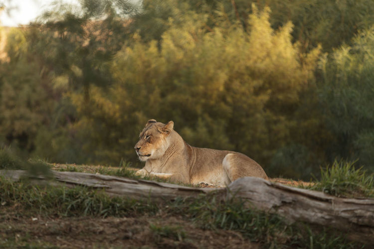 The lioness, Panthera leo, is majestic to watch, even when only napping on the African Serengeti Animal Themes Animal Wildlife Animals In The Wild Cat Cheetah Day Feline Lion Lioness Nature No People Outdoors Panthera Leo Tree