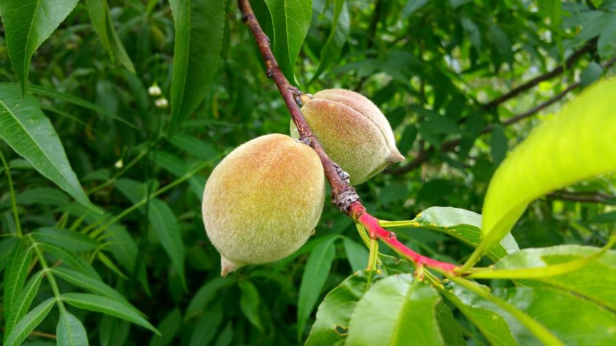 Peachtree Peach Beautiful Nature Nature The Great Outdoors - 2016 EyeEm Awards Fresh Air Taking Photos Fruit Fruits Photographer PhonePhotography Photoshoot Photooftheday Photography Myshot Hunging Out Clouds Tree Like4like Followme in Trinity,United States
