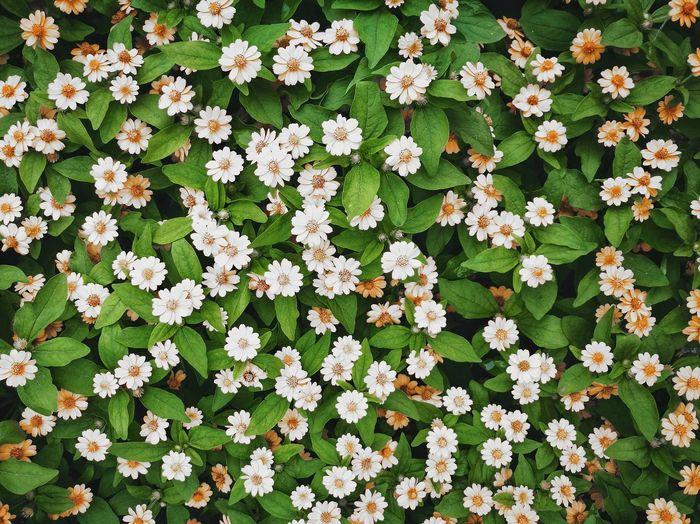 Shanghai,China China Flower Backgrounds Leaf Full Frame High Angle View Close-up Plant Blooming Green Color In Bloom Blossom Plant Life Petal Growing Cosmos Flower Dahlia Pistil