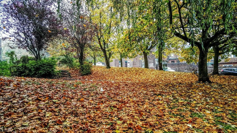 Golden Autumn Pathway Autumn Leaves Golden Leaves Trees Road Houses Autumn 2015 Green Trees Bare Tree Carpet Of Gold