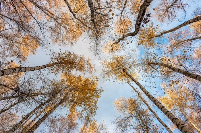 Low angle view of trees in forest during autumn, Russia, Moscow Russia. Moscow Branch - Plant Part Growth Leaf Backgrounds Scenics - Nature Tranquility Bitsa Scenics Leaf Backgrounds No People Tranquility Day Forest Sky Outdoors Change Beauty In Nature Nature Low Angle View Autumn Tree Briches Russia Moscow Park Cloud - Sky Yellow Leaves