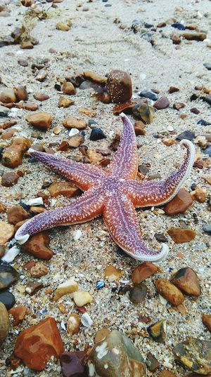 Starfish. Star Starfish At Beach Starfish  Star Shape Animal Themes Sea Life Animals In The Wild One Animal Nature Beauty In Nature Outdoors No People Beach Close-up Sand Day Beauty In Nature
