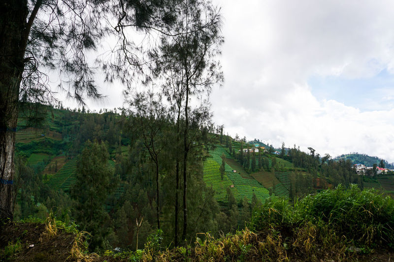 Green hills, Mount Bromo. Tree Plant Sky Cloud - Sky Scenics - Nature Land Landscape Nature Environment Forest Tranquility Green Color Day Beauty In Nature Tranquil Scene No People Outdoors Growth WoodLand Non-urban Scene Pine Tree Pine Woodland Bromo Bromo-tengger-semeru National Park Bromo Mountain