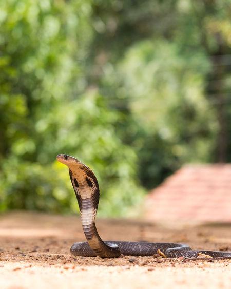 View of cobra