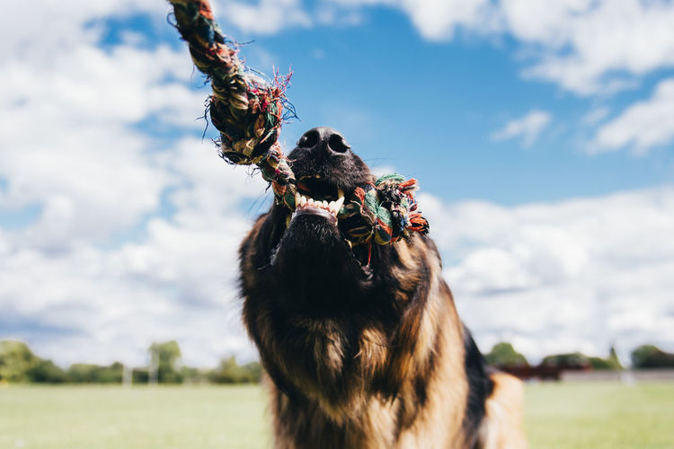 Close-up of german shepherd biting on rope against sky