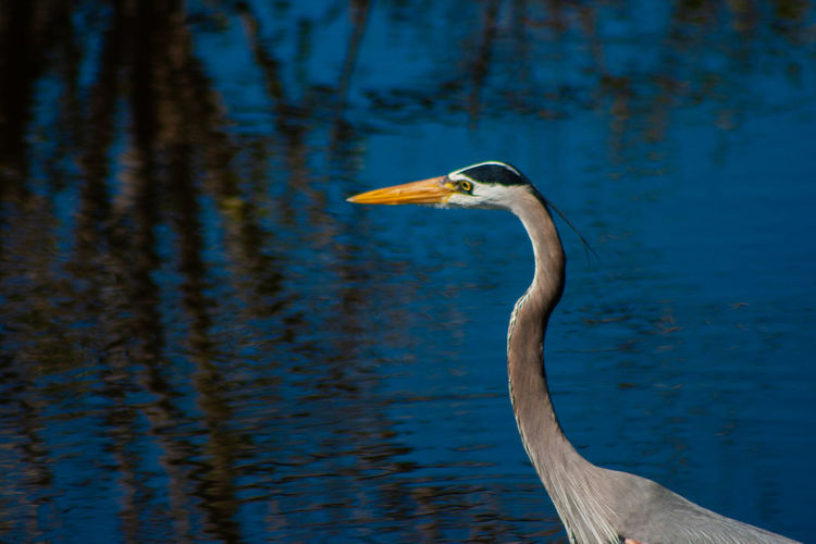 Close-up of a great blue heron in a lake