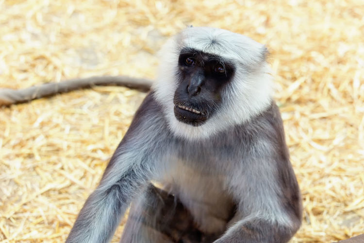 Close-up of gray langur on field