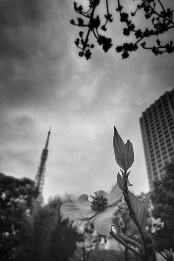 ハナミズキ Flower Flowerporn Plants 🌱 Roadside Tree Rainy Days Tokyo Tower From My Point Of View Blackandwhite Monochrome