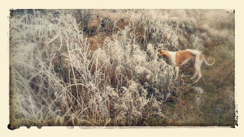 Auto Post Production Filter Animal Themes Weather The Winter Is Coming Whippet Winter Walk With My Dog Winter Walk Beauty In Nature Winter Frozen Nature Cold Temperature Togetherness Outdoors