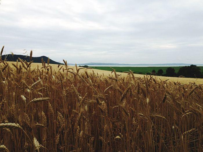 Lake Balaton Wheat Table World Off