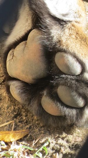 Bengal Tiger The power of the Paws The Calmness Within Cat Lovers Paw Prints Wildcats Barefoot