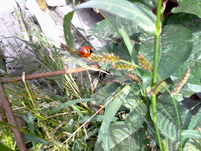Unedited Ladybeetle Green Plants Grass Ladybug Wolfzuachis Eyeem Market