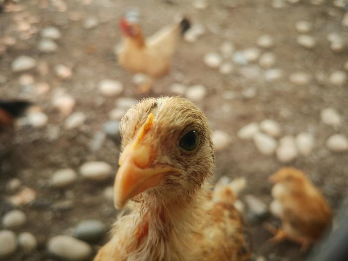 Close-up of a chick
