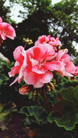 Flower Nature Summer Pink Color Close-up