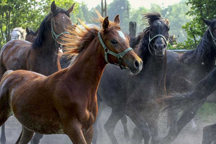 Animal Themes Arabian Horses Domestic Animals Gallop Galloping Herd Of Horses Horse Horse Stud Horses Mammal Nature No People Outdoors