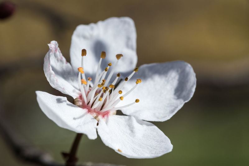Cherry blossom Flower Flowering Plant Fragility Vulnerability  Freshness Beauty In Nature Plant Pollen Petal Close-up Flower Head White Color Growth Focus On Foreground Blossom No People Springtime Outdoors Softness Spring Cherry Blossom Purity Nature