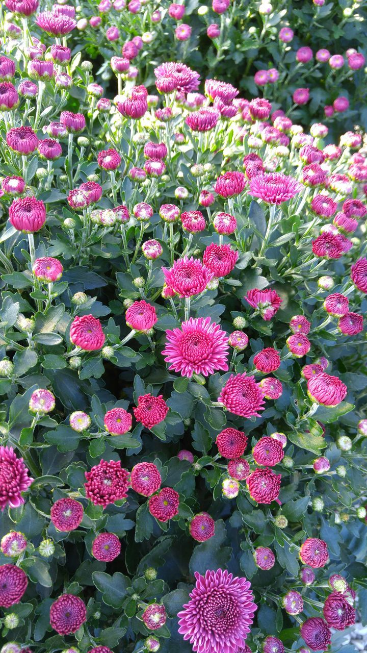pink color, flower, growth, plant, beauty in nature, fragility, nature, freshness, day, no people, green color, outdoors, park - man made space, leaf, blooming, flower head, close-up, zinnia