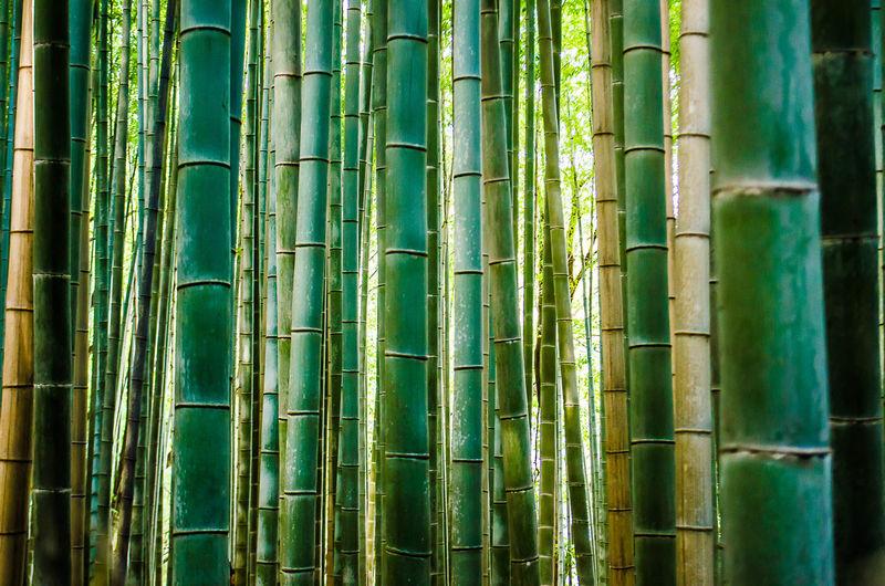 Full frame shot of bamboo plants