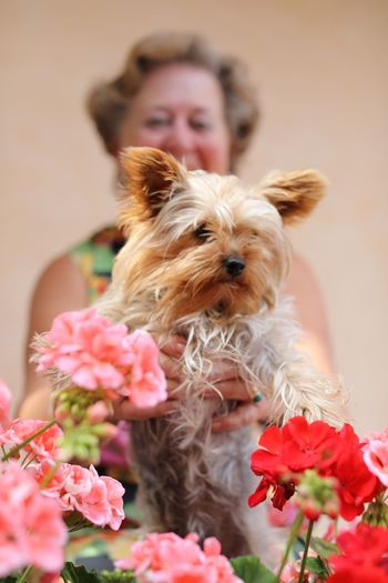 Mom and Chica ❤️ EyeEm Selects Pets Domestic Animals Domestic Mammal One Animal Dog Canine Flower Flowering Plant People Lap Dog Yorkshire Terrier Pet Owner Pink Color
