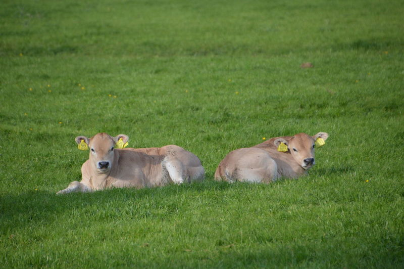 Cows relaxing on field