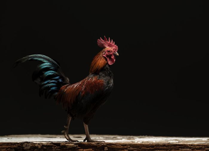 View of rooster on wood against black background