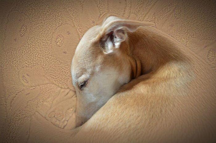 One Animal Animal Head  Sleeping Domestic Animals Indoors  Animal Themes Dog No People Animal Windhund Whippet Holiday Dog❤ Dog Love Galgos Mystic Dogslife