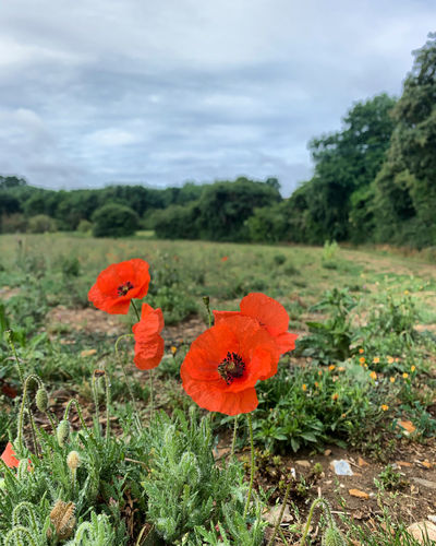 Close-up of poppy on field against sky