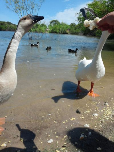 Feeding the ducks and geese Animals Turtles Water Pond Seagulls Birds Ducks Outdoors Water Reflections Feedingducks Flying Geese Connect With Nature Connected With Nature Green Day Save The Planet Save The World Save Nature  Savetheplanet Earth Day Save The Nature Nature Lovers Human And Nature Nature Adapted To The City