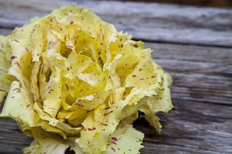 Vegetable Castelfranco radicchio lettuce has yellow leaves that have red speckles. Agriculture Castelfranco Radicchio Close-up Day Farm Healthy Healthy Eating Leafy Lettuce No People Organic Organic Food Outdoors Produce Radicchio Red Speckled Red Specks Salad Speckled Vegetable Vegetables