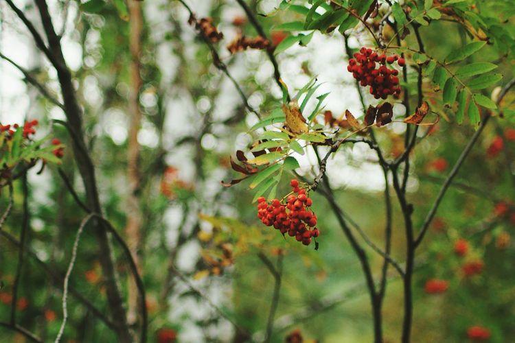 Branches Berrys Red Russia Siberia Kuzbass Novokuznetsk