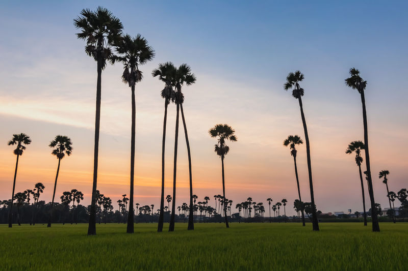 Sunset at Dong Tan, Pathum Thani Plant Sky Sunset Tree Palm Tree Tropical Climate Land Field Scenics - Nature Nature Growth Beauty In Nature Tranquil Scene Tranquility Grass Cloud - Sky Environment Outdoors Landscape Orange Color Coconut Palm Tree