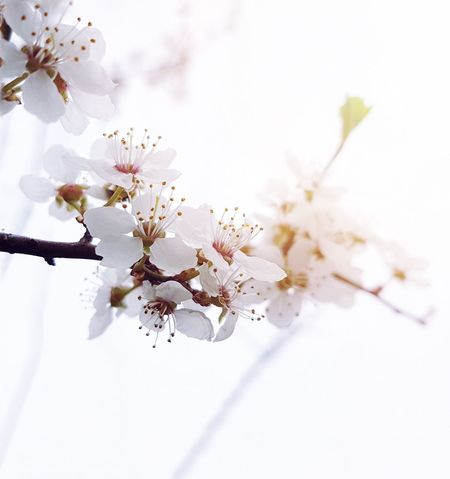 Landscapes With WhiteWall EyeEm Nature Lover EyeEm Best Shots Flowers Springtime Eye4photography  Nature_collection Cherry Blossoms Fresh On Market May 2016 Fresh On Market 2016
