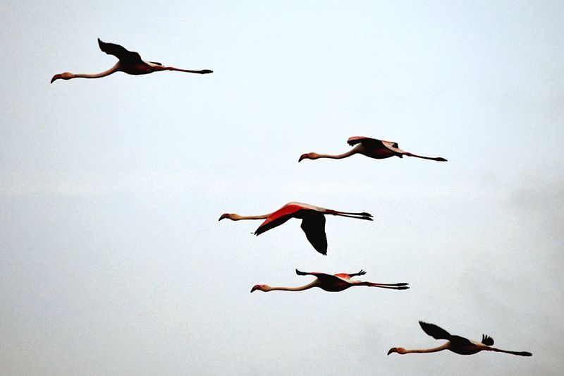 Flamingos flying Bird Photography Wildlife Arrow Team Pattern Sky Flying High Flamingo