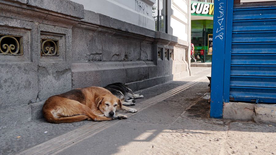 Portrait of dog resting on footpath