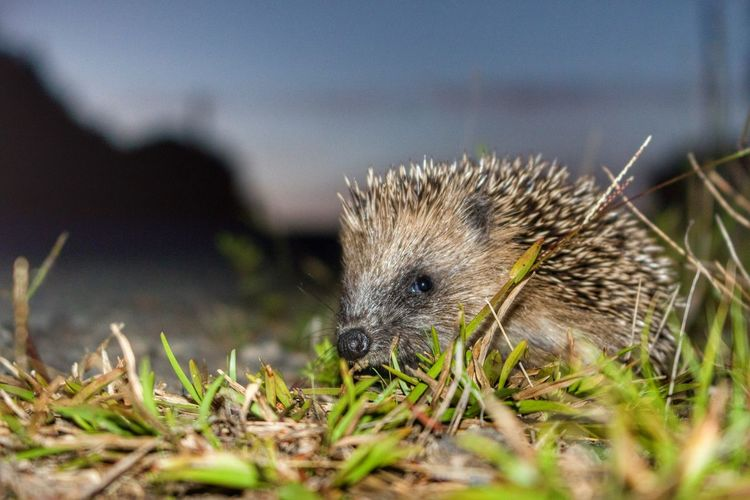 Hedgehog Nature_collection Check This Out Landscape #Nature #photography Newzealandphotography Newzealand Travel Photography Nature Wildlife Hedgehog Wildlife & Nature