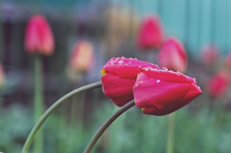 Tulips Flower Petal Nature Pink Color Beauty In Nature Red Growth Flower Head Focus On Foreground Freshness Close-up Fragility Plant Tulip Outdoors No People Springtime Day Pedal Shchigry Kursk