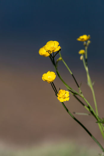 Close-up of yellow flowering plant