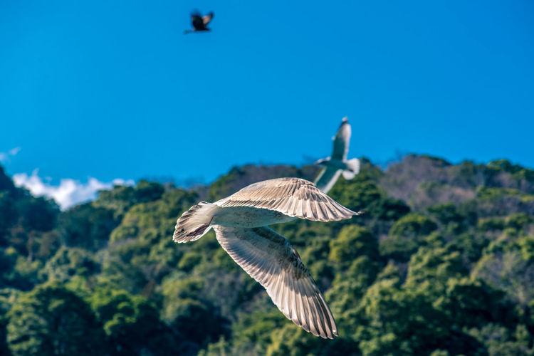Seagull flying against blue sky